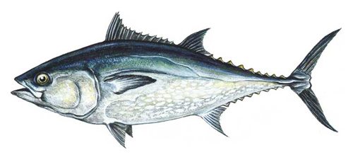 Картинки по запросу тунец рыба